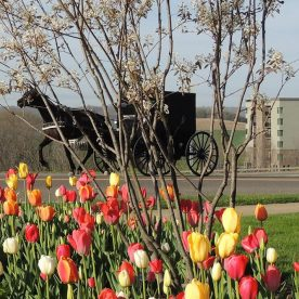 horse drawn buggy with tulip flowers in spring